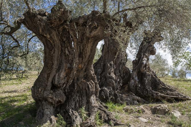 Thousand year olive tree Millennial Olive of Arroyo Carnicero