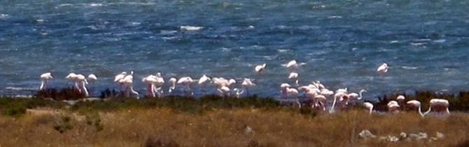 Flamingos in Torrevieja salt lake