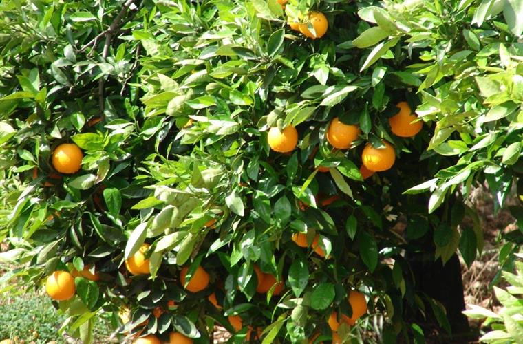 Oranges between October and April