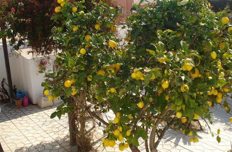 Lemon tree(help yourself to fresh lemons)