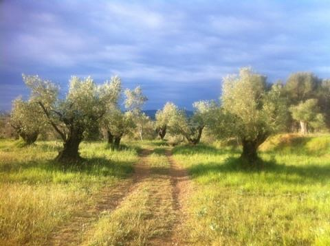The olive fields in Torroella de Montgrí