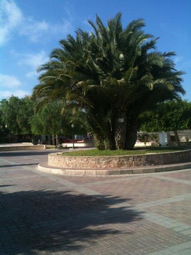 Palm trees Center Rojales