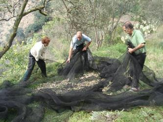 The local people collecting their olive harvest in the valley