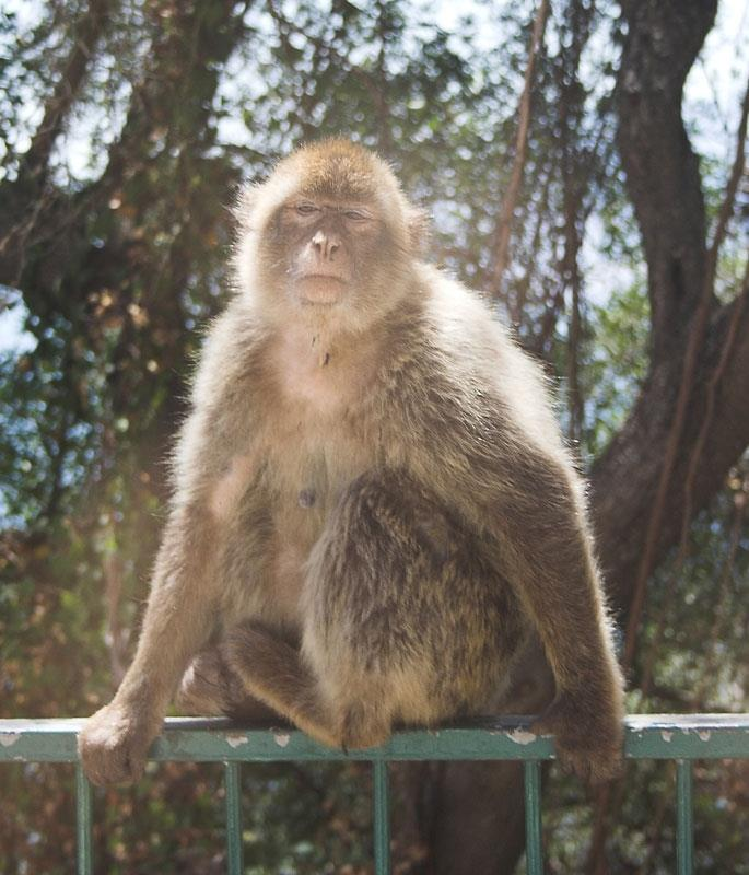 Gibraltar Rock Ape, meet her on a day trip but watch your camera