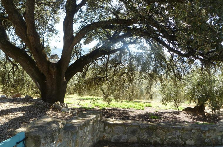 Old Holm oak tree providing privacy and shade