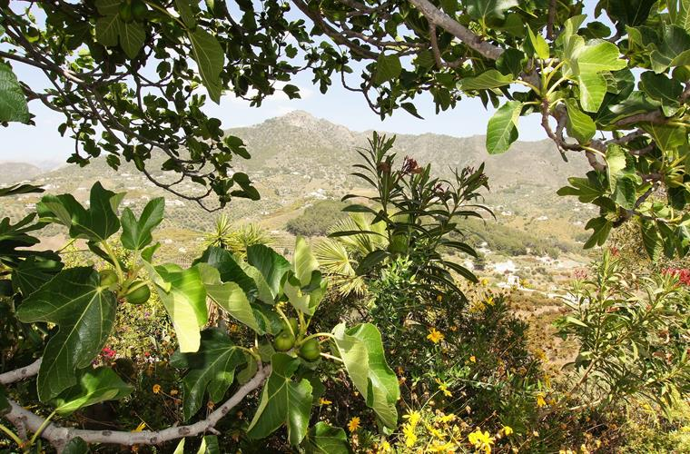 fig tree with view on mountains